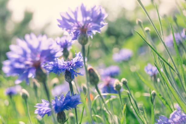 Cornflowers in a summer meadow stock photo