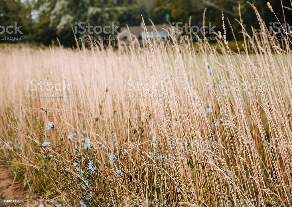 cornflowers in high grass stock photo