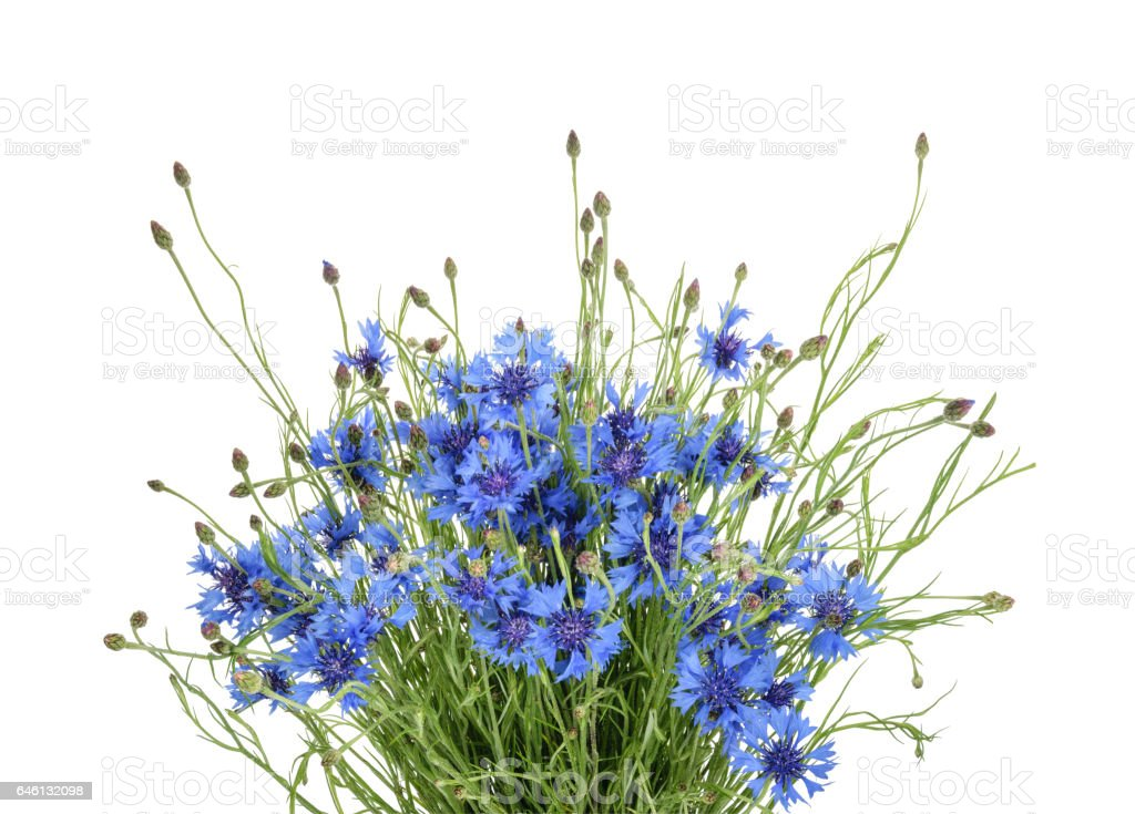 Cornflowers isolated on white without shadow stock photo