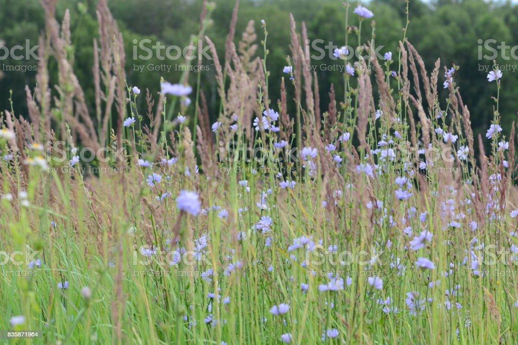 Cornflowers on a meadow field stock photo