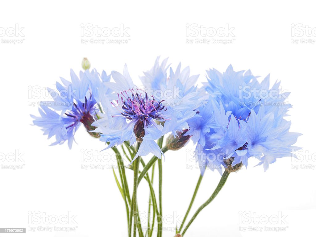 cornflowers on a white background royalty-free stock photo