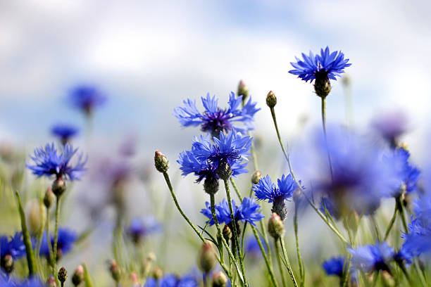 cornflowers – Foto