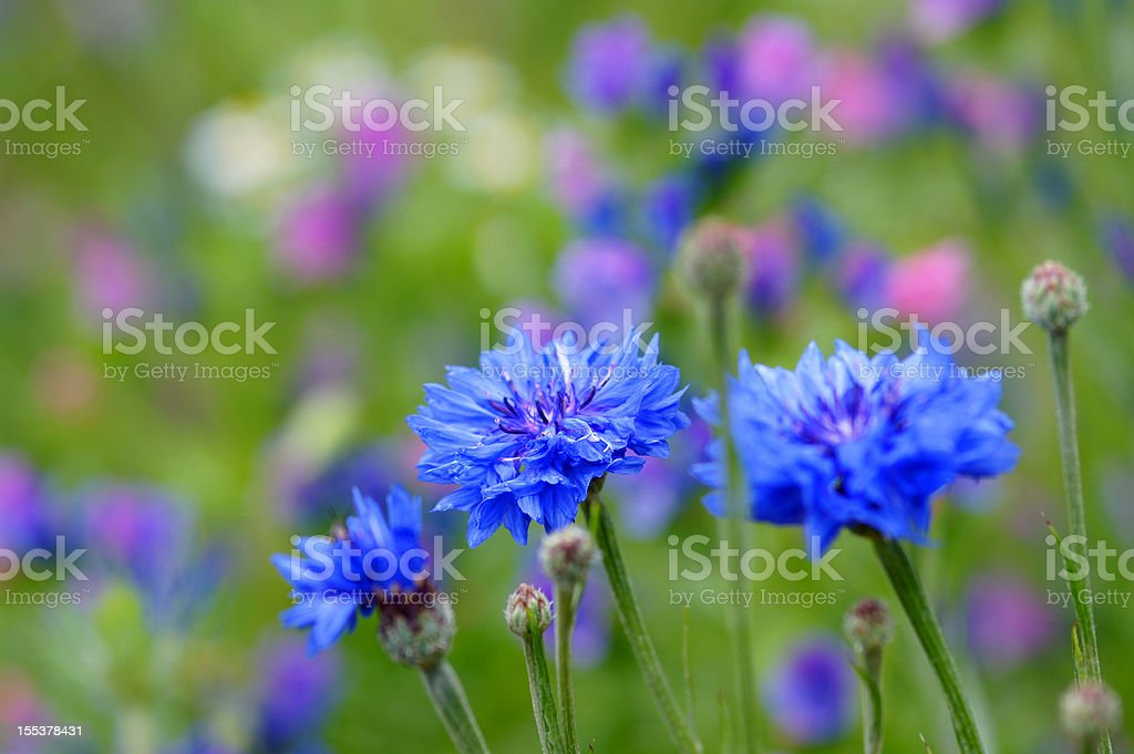 Cornflowers stock photo