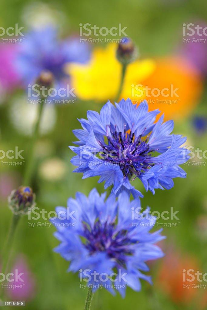 Cornflowers - Photo