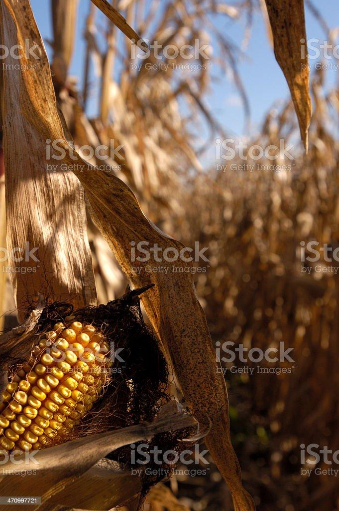 corn-grain autumn harvest royalty-free stock photo