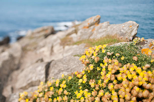 cornish cliff top wild flowers - cornwall stock pictures, royalty-free photos & images