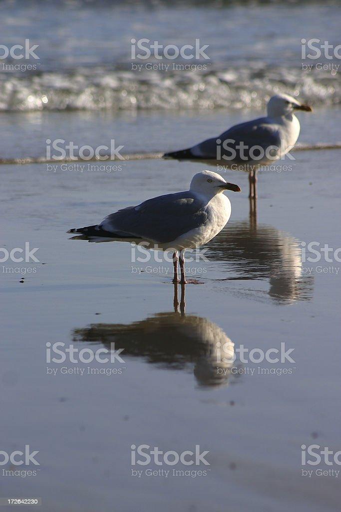 Cornish Gulls royalty-free stock photo