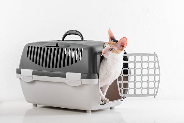 Cornish Rex Cat and Carrier. stock photo