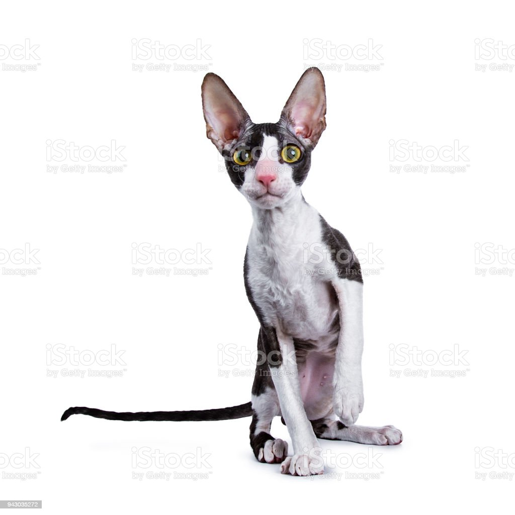 Cornish Rex cat / kitten sitting facing camera and looking curious in lens wit one paw lifted isolated on white background stock photo