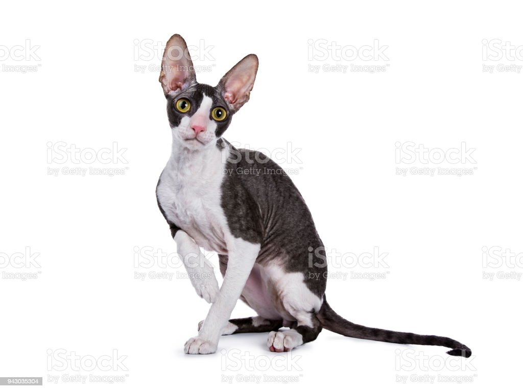 Cornish Rex cat / kitten sitting side ways isolated on white background with one paw lifted stock photo