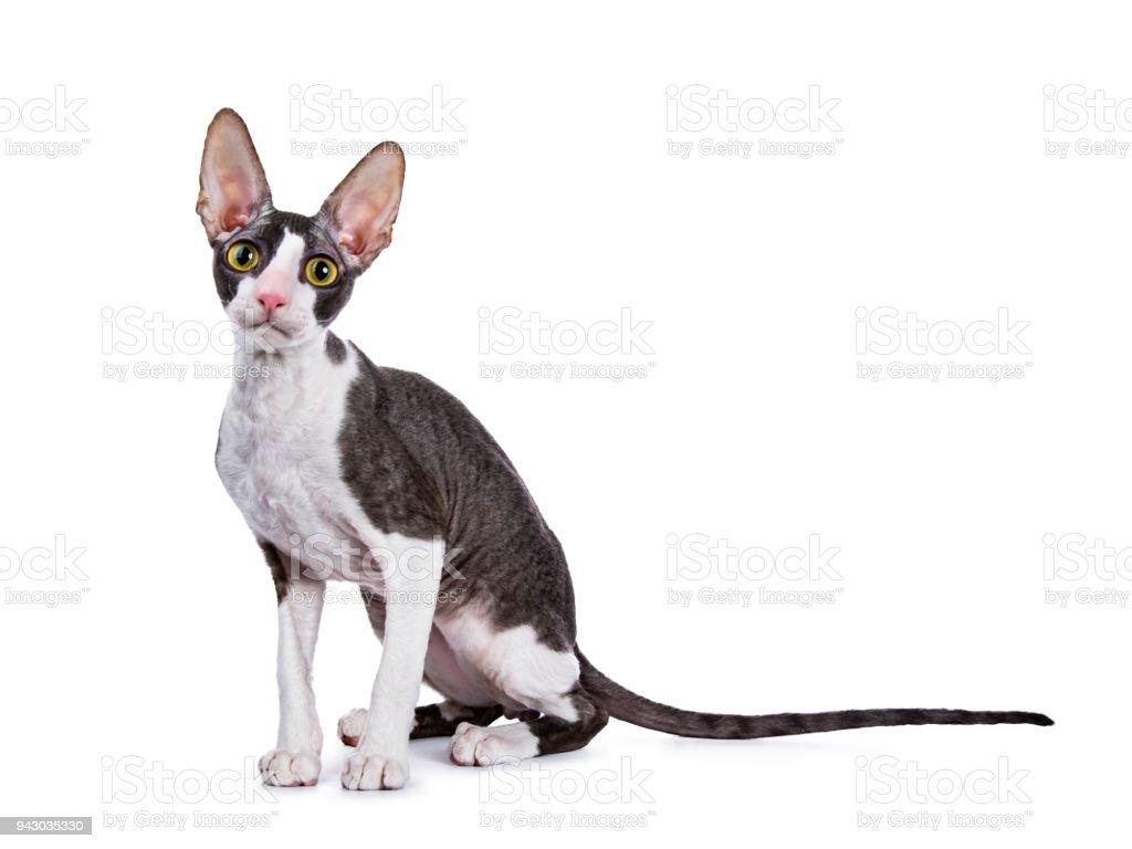 Cornish Rex cat / kitten sitting side ways isolated on white background stock photo