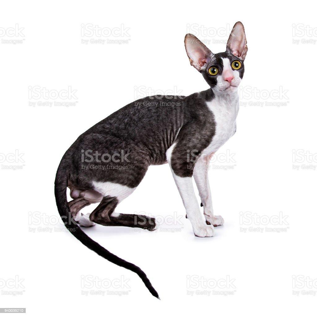 Cornish Rex cat / kitten sitting side ways / turning isolated on white background looking at lens stock photo