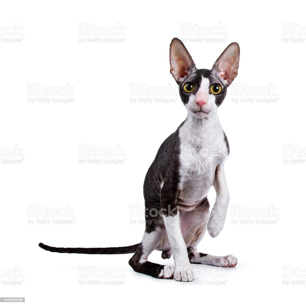 Cornish Rex cat / kitten sitting with one paw in the air on white background looking at lens stock photo