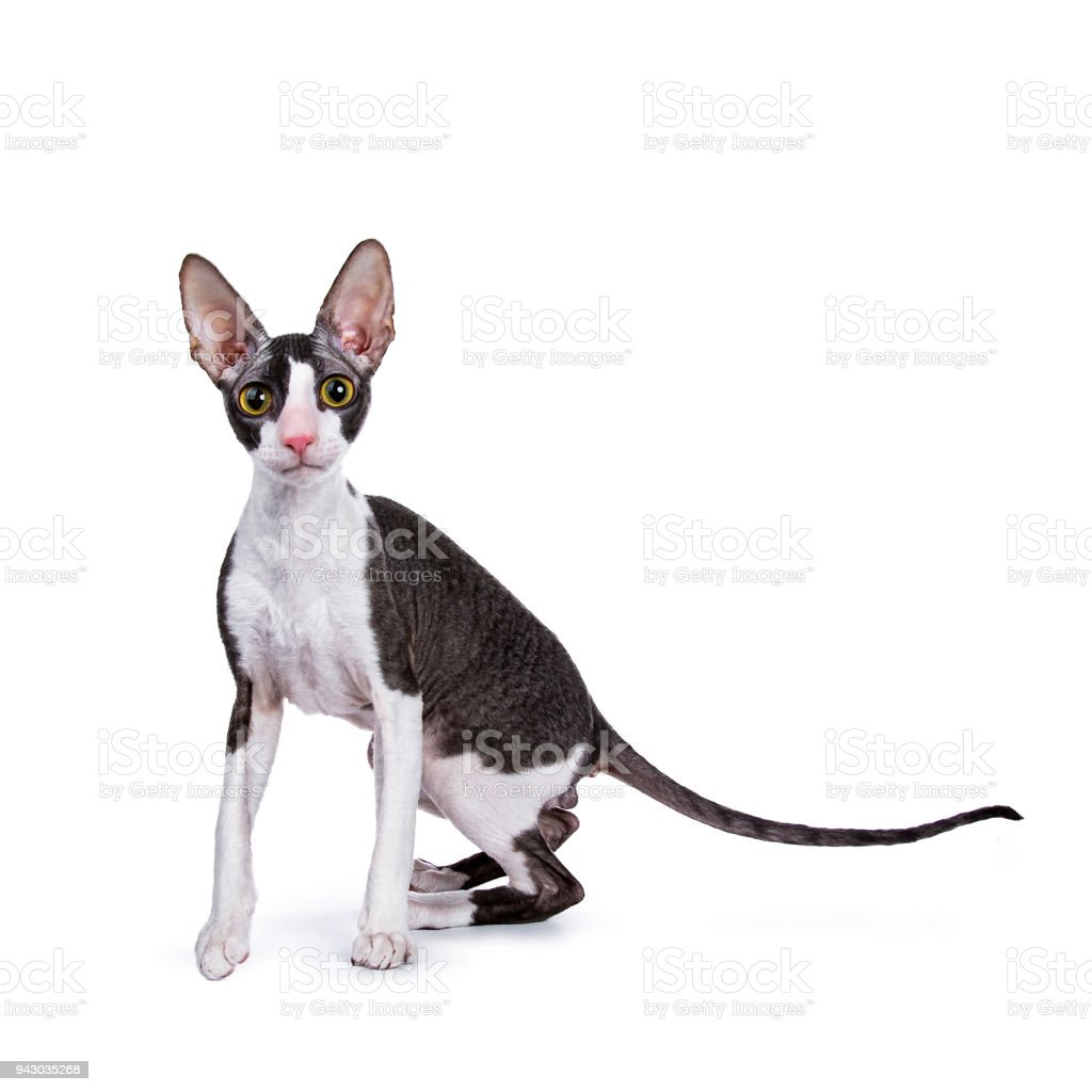 Cornish Rex cat / kitten standing facing camera and looking curious in lens  isolated on white background stock photo