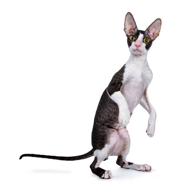 Cornish Rex cat / kitten standing on back paws / jumping isolated on white background looking at lens stock photo