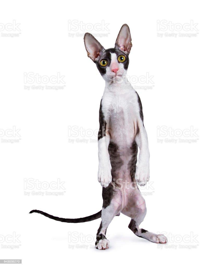 Cornish Rex cat / kitten standing on back paws like human / meerkat isolated on white background stock photo