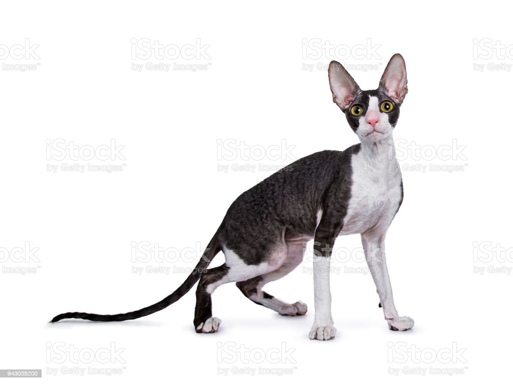 Cornish Rex cat / kitten standing side ways isolated on white background looking at lens stock photo
