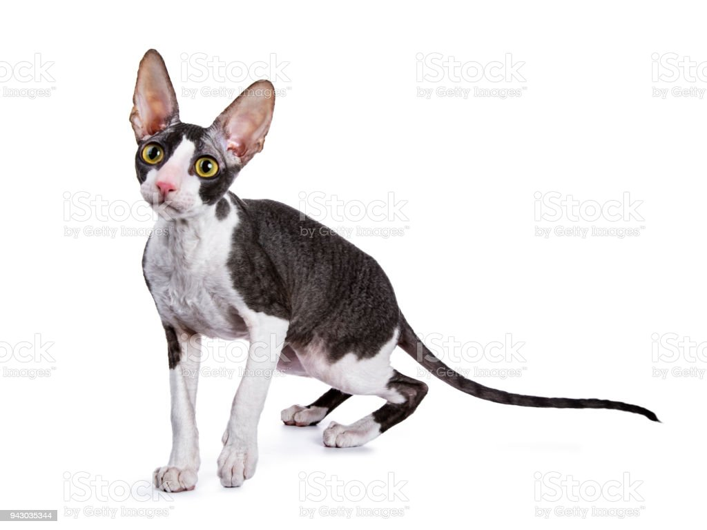 Cornish Rex cat / kitten standing / walking isolated on white background stock photo