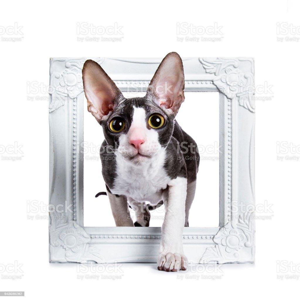 Cornish Rex cat / kitten walking through white photo frame isolated on white background stock photo