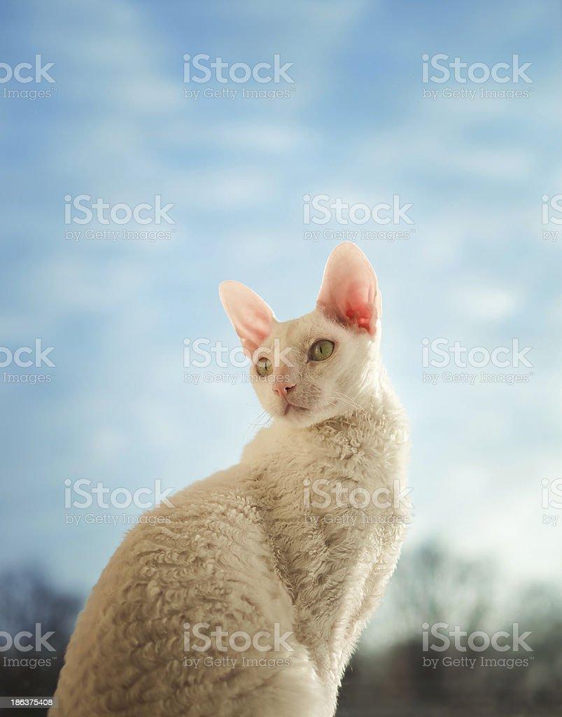Cornish Rex Kot Patrząc W Lewo Zdjęcia Stockowe Istock