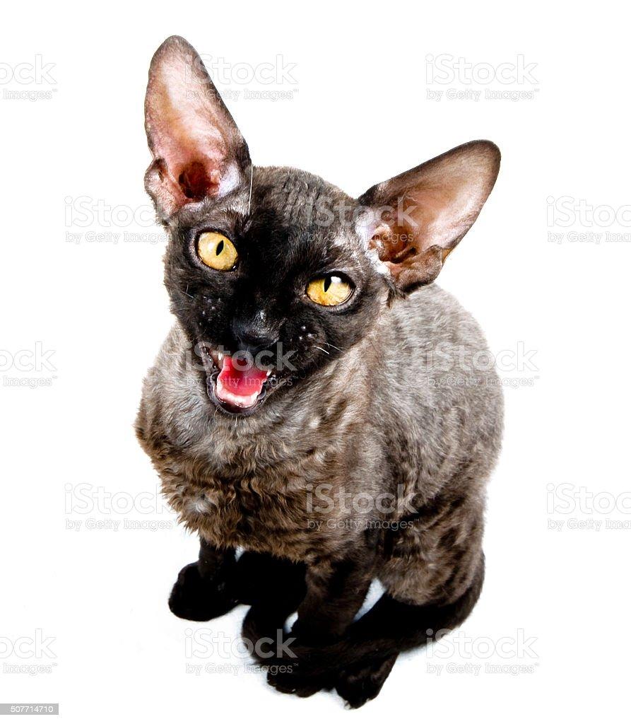 Pieróg Rex Kot Stockowe Zdjęcia I Więcej Obrazów Biały Istock