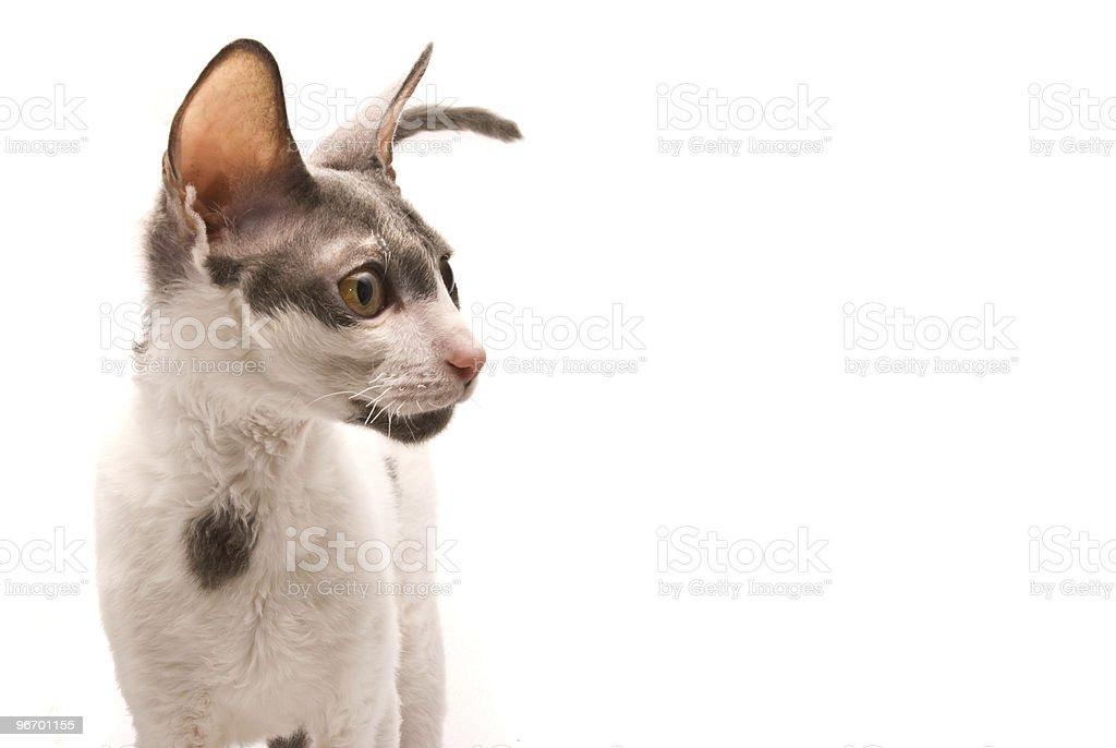 Cornish Rex Kot Stockowe Zdjęcia I Więcej Obrazów Bez Ludzi Istock