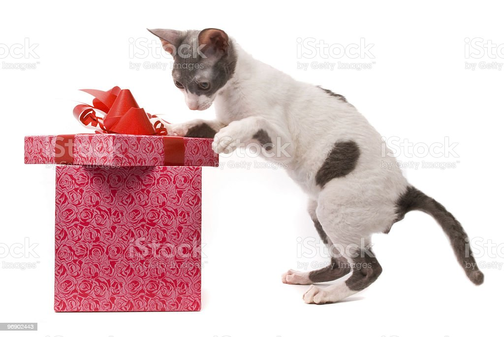 Cornish rex cat royalty-free stock photo