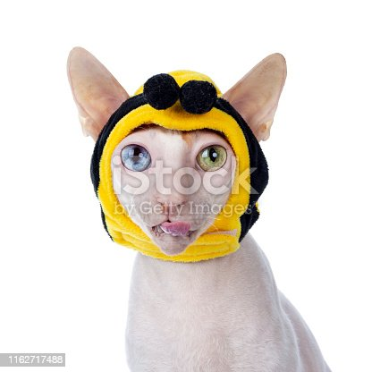 istock Cornish Rex with mask on white 1162717488