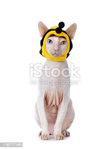istock Cornish Rex with mask on white 1162717493