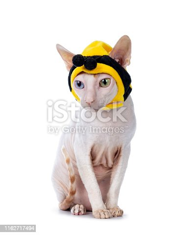istock Cornish Rex with mask on white 1162717494