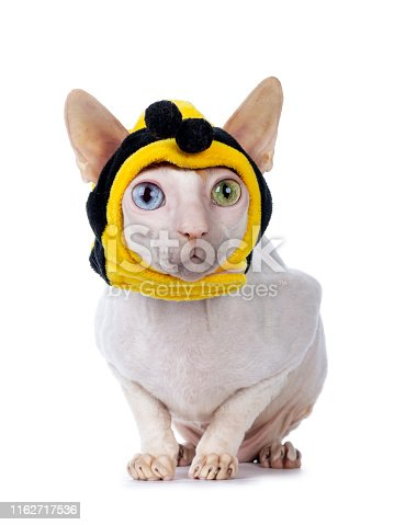 istock Cornish Rex with mask on white 1162717536