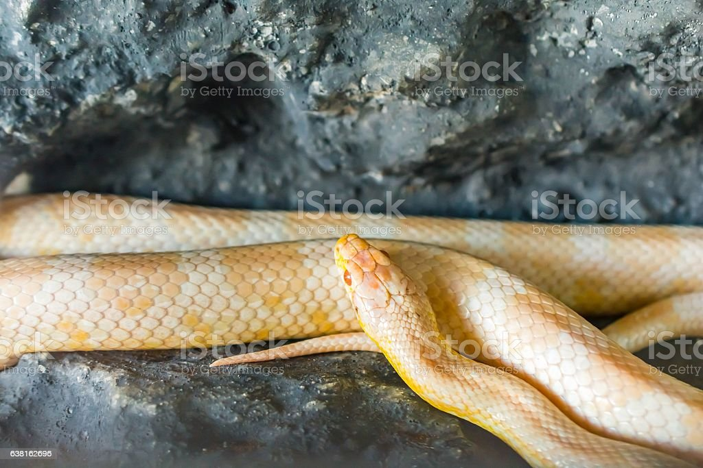 Cornsnake lying on the stone stock photo