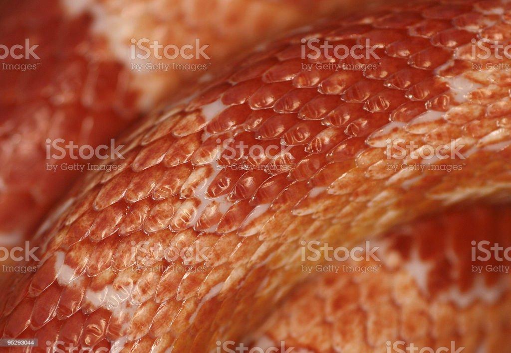 Cornsnake Skin royalty-free stock photo