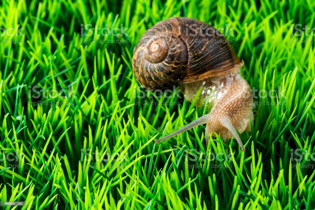 Cornu aspersum snail secretes foam to protect itself on grass royalty-free stock photo