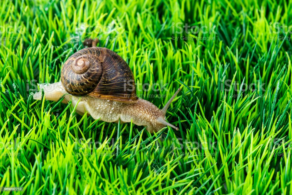 Cornu aspersum snail secretes foam to protect itself on grass zbiór zdjęć royalty-free