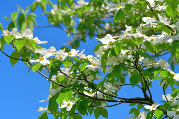 Cornus florida / Dogwood Flowers: Red and White stock photo