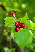 istock Cornus mas red fruits 1272944109