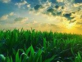 Soft idyllic Countryside sunrise over the fresh green leafs of a cornfield