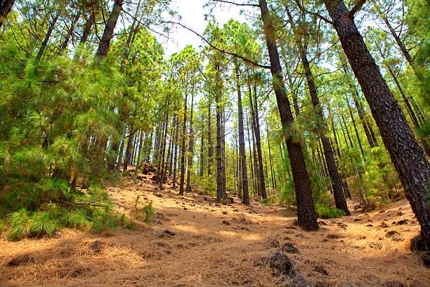 Corona Forestal in Teide National Park at Tenerife stock photo