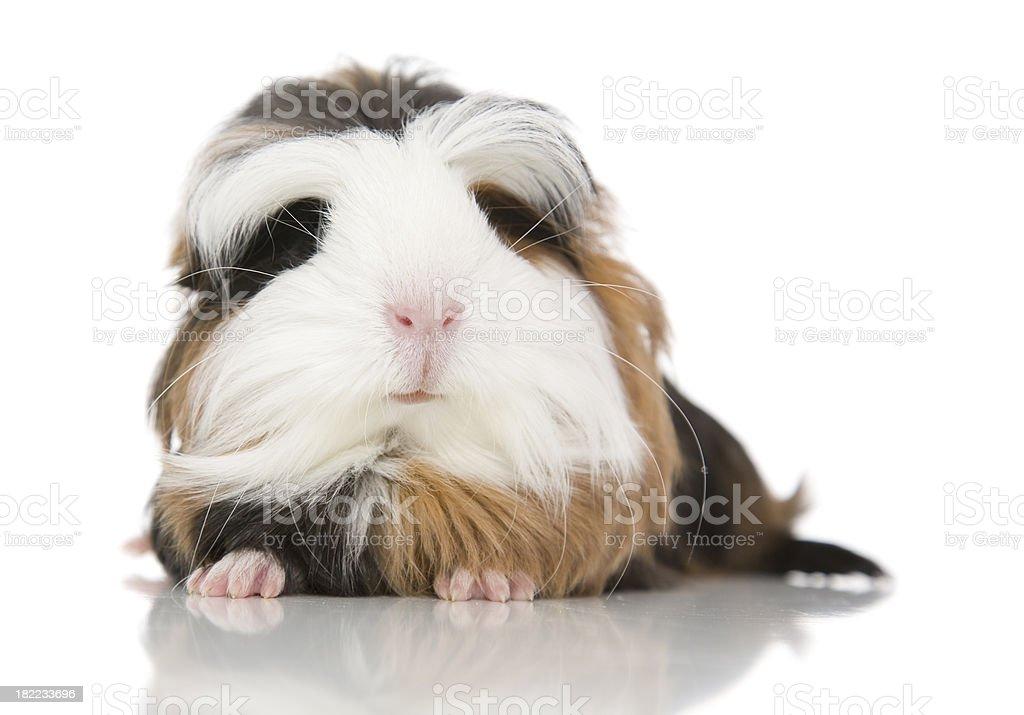Coronet Guinea Pig royalty-free stock photo