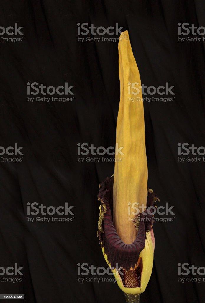 corpse flower, Amorphophallus titanum, blooms stock photo