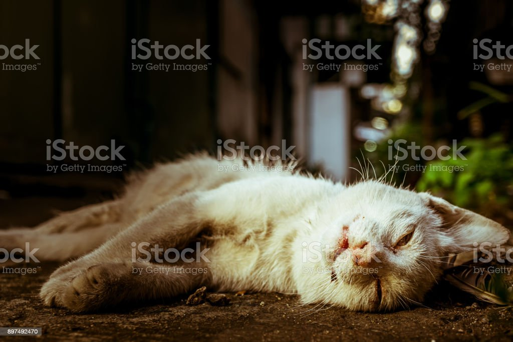 Corpse of white cat died on the ground stock photo