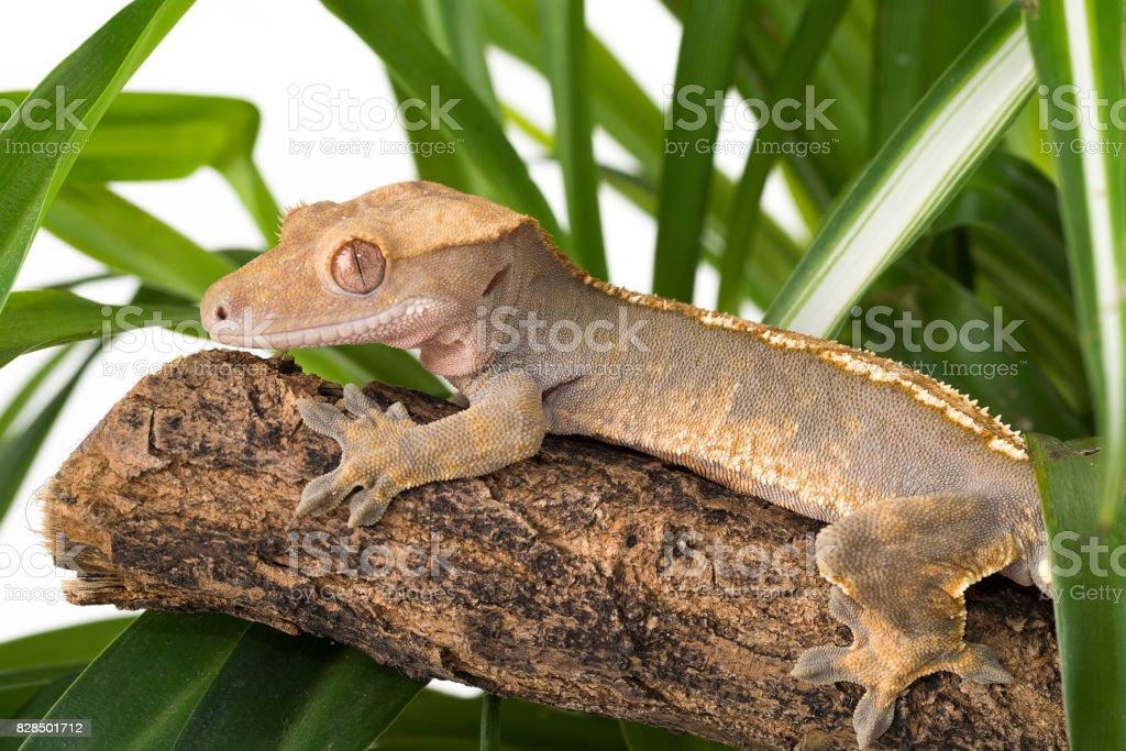 Fotografía de Correlophus Ciliatus El Gecko Crestado y más banco de ...