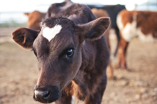 Corriente Calf With Heart Shaped Marking On Forehead Stock