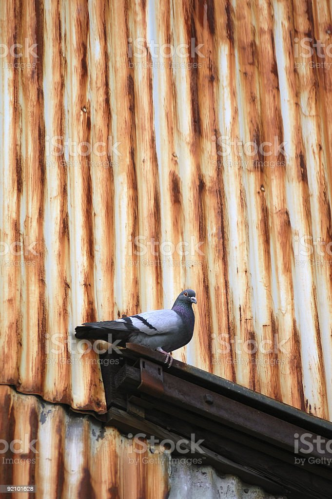 Corrigated Pigeon royalty-free stock photo
