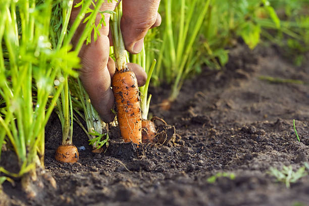 Corrot in field http://www.avalonstudio.eu/istock/fruits_vagatables2.jpg cultivated land stock pictures, royalty-free photos & images