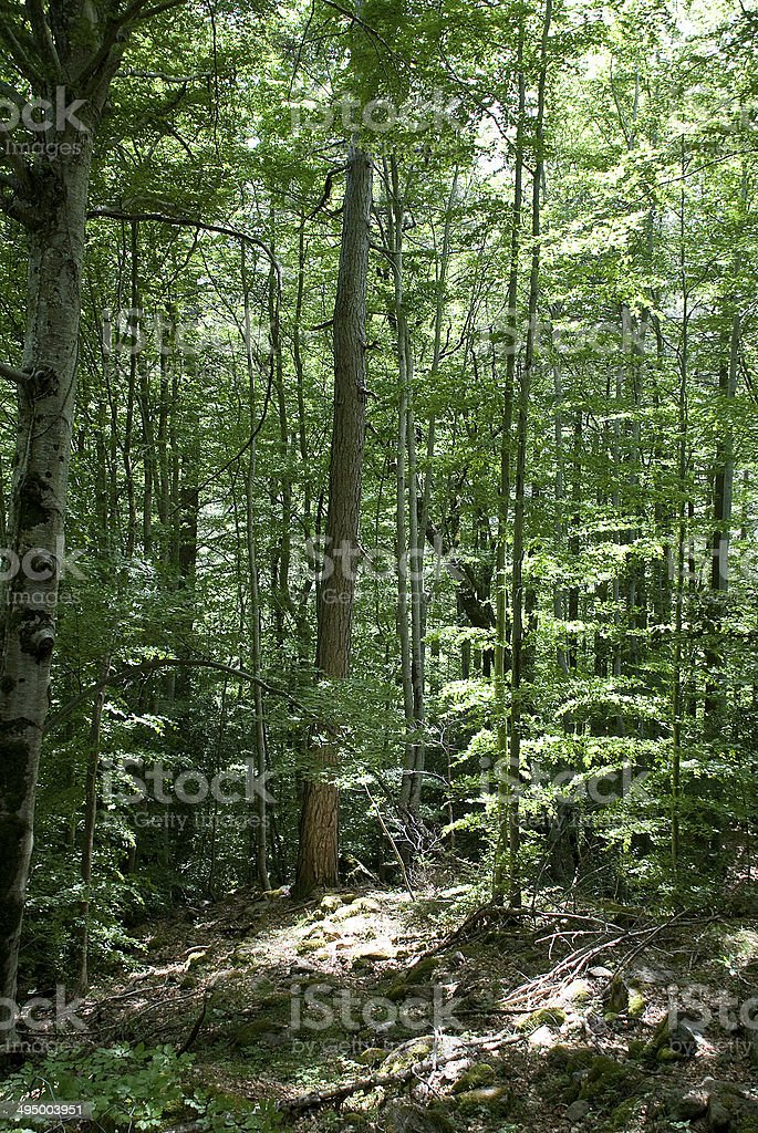 forêt Corse royalty-free stock photo