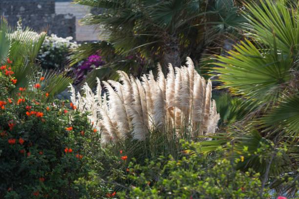 cortaderia selloana oder pampasgras im wind - chinaschilf stock-fotos und bilder