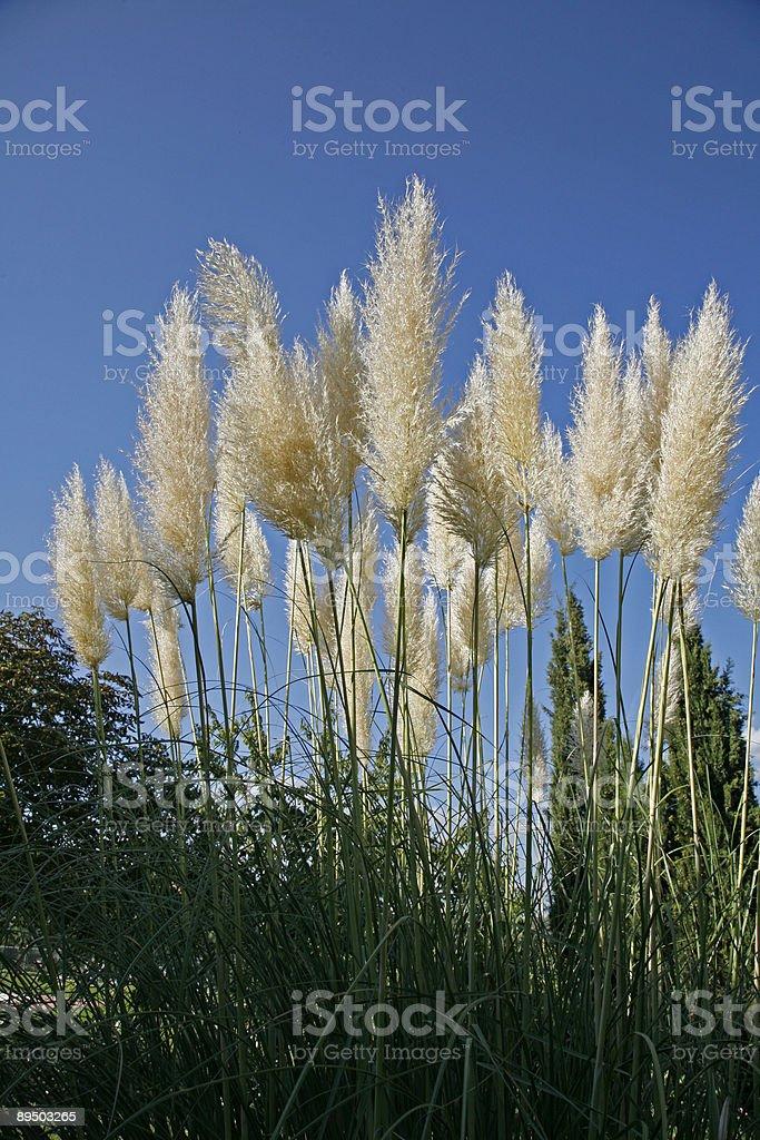 Cortaderia selloana royalty-free stock photo