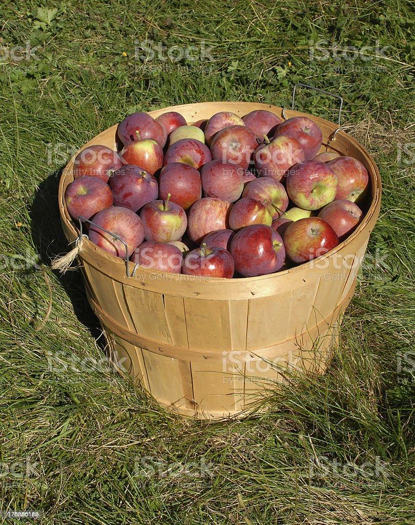 Cortland apples in a bushel basket royalty-free stock photo